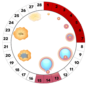 Нормальные размеры матки и яичников по УЗИ