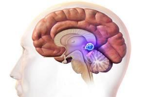 Эпифиз головного мозга: что это такое, его строение и функции