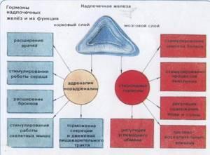 Гормоны надпочечников и их функции