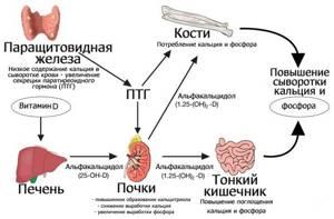 Паращитовидная железа - что это такое, гормоны и функции
