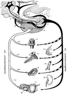 Строение и расположение гипофиза человека