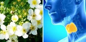 Лапчатка белая при щитовидке: полезные свойства и противопоказания
