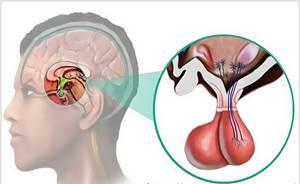 Роль и функции гипофиза в организме человека