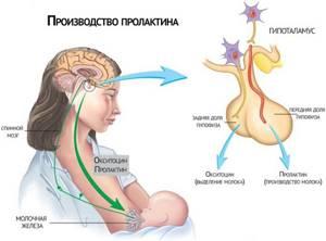 Что такое гормон пролактин и за что он отвечает