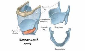 Щитовидный хрящ: строение (фото) и функции
