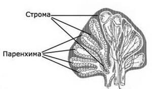 Строение печени человека, анатомия органа, функции