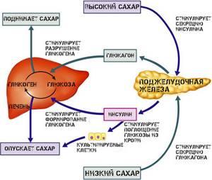 Инсулин и глюкагон: взаимосвязь и функции
