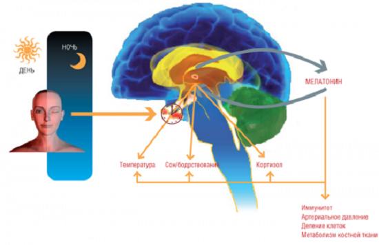 Гормон сна - мелатонин. Как повысить уровень мелатонина?