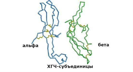 Анализ на хорионический гонадотропин человека