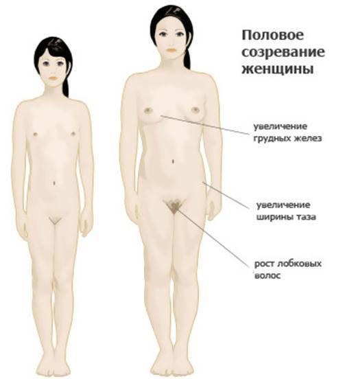 Строение и функции женских половых желез