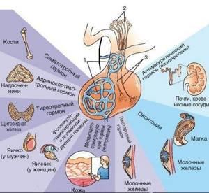 Анализ на гормоны гипофиза головного мозга