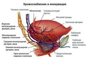 Строение, роль и функции предстательной железы