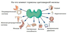 Что такое ТТГ (тиреотропный гормон) и его функции простым языком